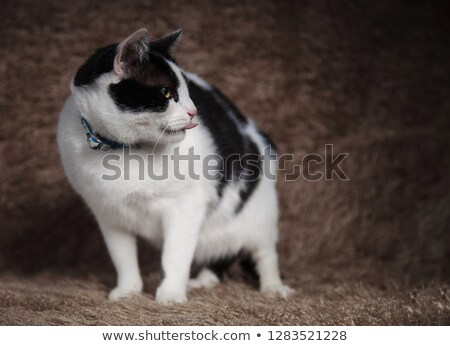 adorable cat wearing blue collar looks to side while panting Stock photo © feedough