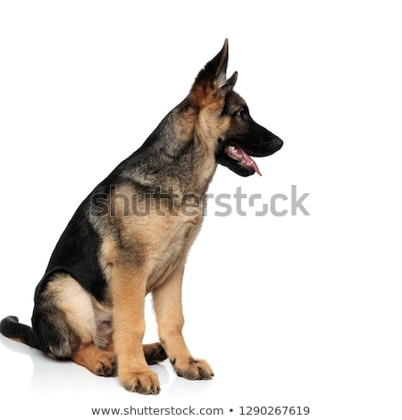panting german shepard looks to side while sitting Stock photo © feedough