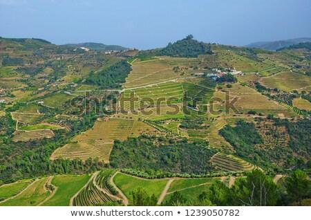 Photo of Port Wine grapes in the Douro Region, Portugal. Stock photo © ajn