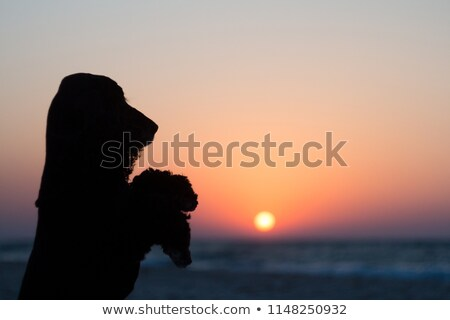 An adorable English Cocker Spaniel standing on two legs Stock photo © vauvau
