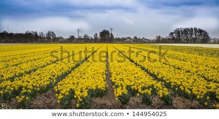 Abrótea campo Holanda flores primavera natureza Foto stock © phbcz