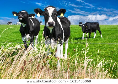 herd of cows on green meadow under blue sky with clouds stock photo © inxti