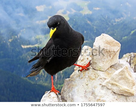 Pyrrhocorax Graculus Stock photo © Antonio-S