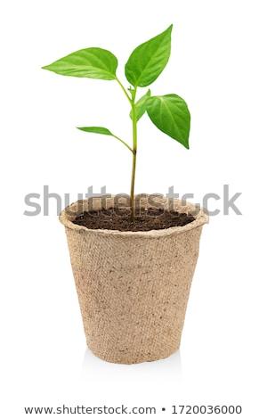 peat pots for seedlings Stock photo © marekusz