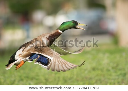 Stock photo: duck taking off