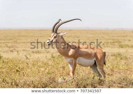 Férfi Serengeti park Tanzánia természet utazás Stock fotó © ajlber