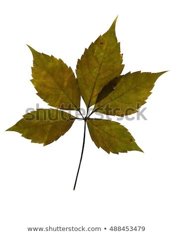 zöld · Virginia · levelek · fehér · izolált · tavasz - stock fotó © bsani