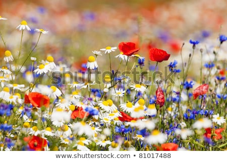 Red And White Flowers Growing In Countryside Stock fotó © courtyardpix