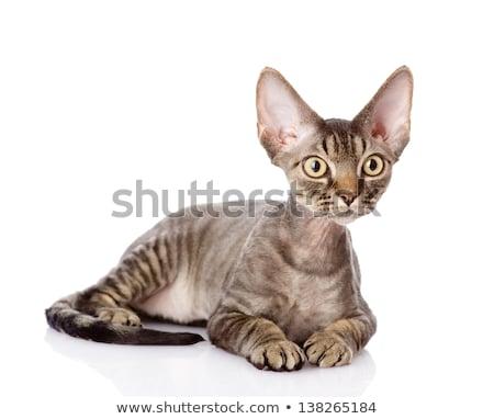 猫 白 髪 面白い 再生 ペット ストックフォト © EwaStudio