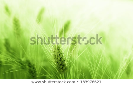 cereal green grain plants growing spikes on spring Stock photo © lunamarina