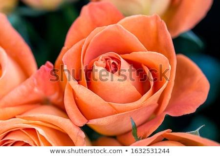 gyönyörű · narancs · rózsa · virág · izolált · fehér - stock fotó © lunamarina