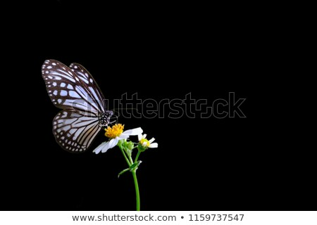 Monarch butterfly sucking nectar Stock photo © stockyimages