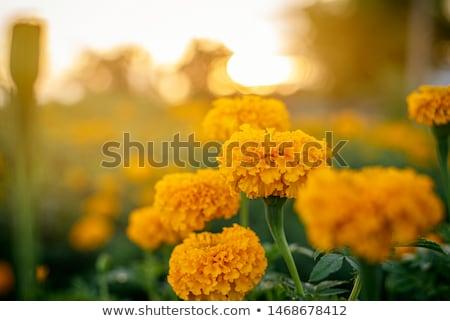 Laranja ensolarado grande canteiro de flores cidade parque Foto stock © taden