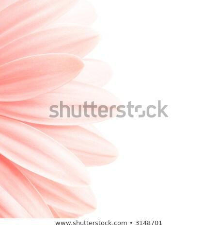 pink petals highkey Stock photo © alptraum