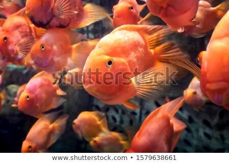 многие Goldfish различный структур оригинальный размер Сток-фото © c-foto