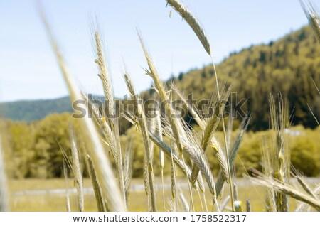 golden wheat ears under sky stock photo © mycola