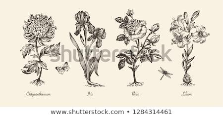 аннотация · цветочный · Iris · рисованной · белый - Сток-фото © kali