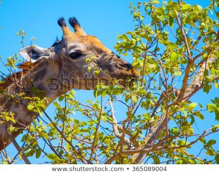 Zürafa yeme hayvanat bahçesi mavi gökyüzü Kenya Afrika Stok fotoğraf © master1305