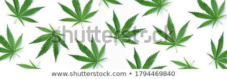 close up a cannabis leaf isolated on white background stock photo © tetkoren