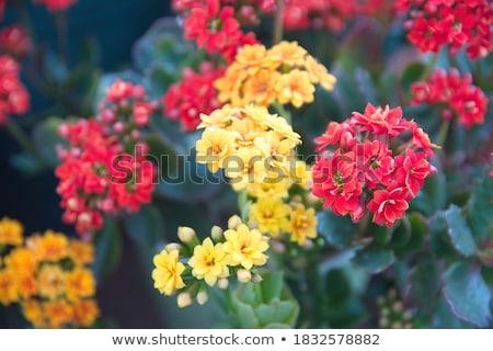 amarelo · suculento · macro · tiro - foto stock © mroz
