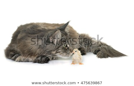 tabby maine coon and chick stock photo © cynoclub