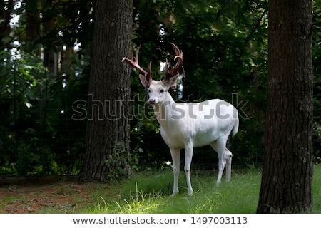White deers Stock photo © hamik