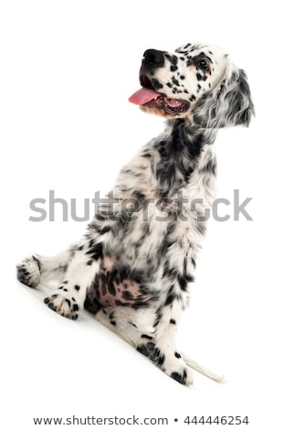 lovely puppy English setter in a white photo background Stock photo © vauvau