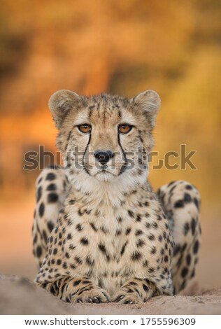 A Cheetah looking down in the Kruger. Stock photo © simoneeman