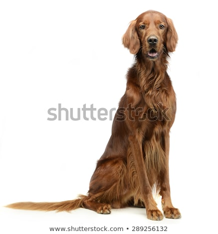 english setter sitting in a photo studio Stock photo © vauvau