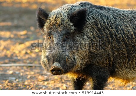wild boar portrait in orange sunset Stock photo © taviphoto
