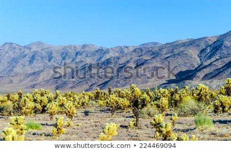 Gyönyörű kaktusz kert park délután nap Stock fotó © meinzahn
