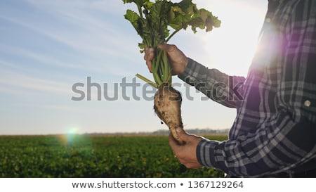 Suiker wortel gewas grond selectieve aandacht bladeren Stockfoto © stevanovicigor