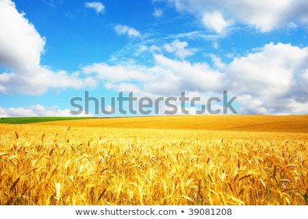 Panoráma búzamező kék ég égbolt fa tavasz Stock fotó © fogen