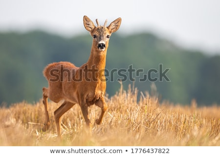 roe deer buck running in wheat field Stock photo © taviphoto