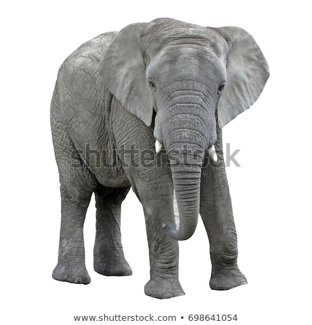 elephant isolated stock photo © foka