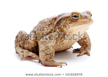 ugly common toad portrait Stock photo © taviphoto