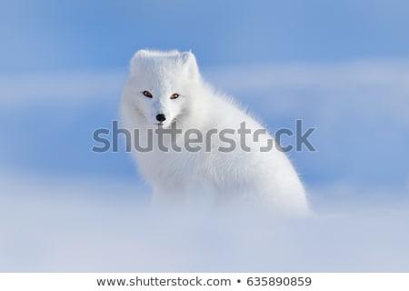 Sarkköri róka közelkép természetes divat állat Stock fotó © boggy