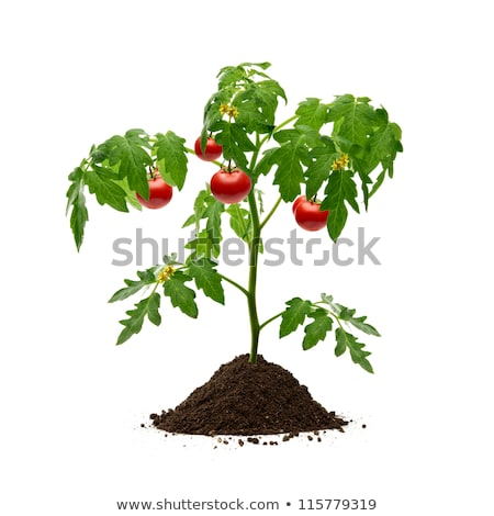 Isolated tomato plant in pot Stock photo © bluering