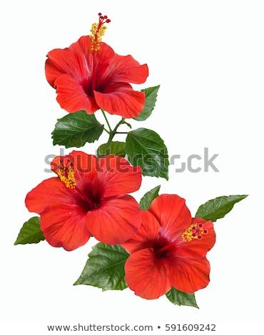 hibiscus · bloem · vector · Rood · bladeren · geïsoleerd · witte - stockfoto © colematt