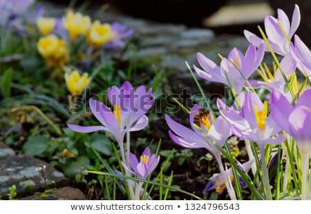 ミツバチ 花粉 淡い 紫色 冬 ターン ストックフォト © sarahdoow