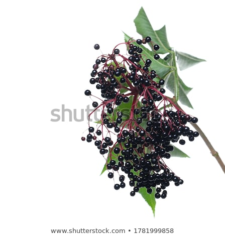 elderberry on white stock photo © agfoto