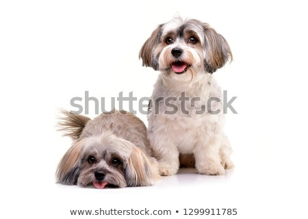 an adorable havanese dog standing on two legs stock photo © vauvau