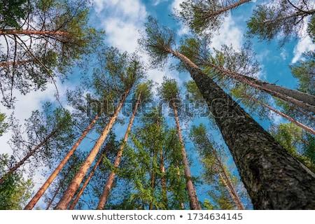 Tree crowns on deep blue sky Stock photo © duoduo