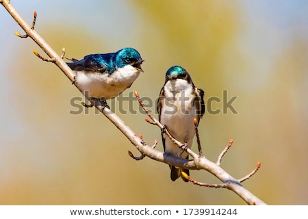 spring swallow  Stock photo © Galyna
