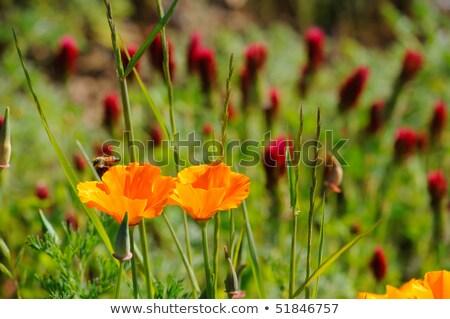 trevo · flor · belo · flores - foto stock © bendicks