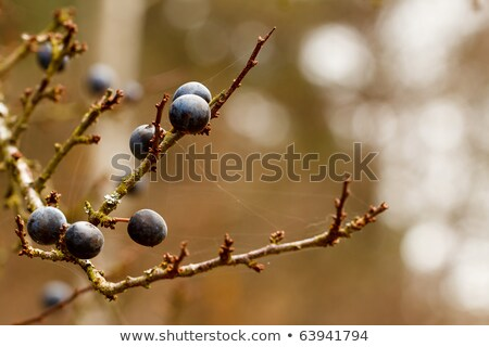 Autumn Background With Blackthorn With Very Shallow Focus Zdjęcia stock © Artush
