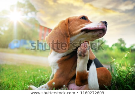 Beagle puppy foto klein witte vriend Stockfoto © feedough