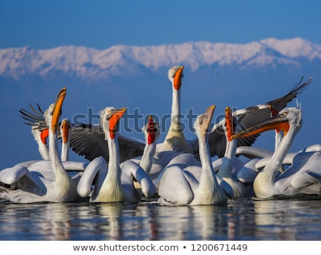 Dalmatian pelican Stock photo © Witthaya