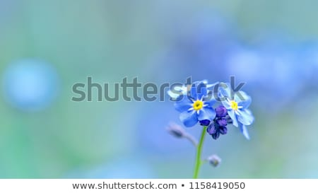 Forget me nots close up Stock photo © Julietphotography