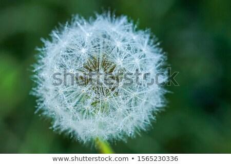 Egy pitypang virág izolált mag rügy Stock fotó © 3523studio